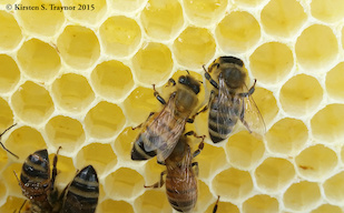 Bees storing nectar in comb. Image by Kirsten Traynor.